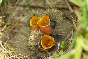 Skylark (Alauda arvensis) chicks in nest, mouths open begging, Norfolk, UK, June - Nigel Bean