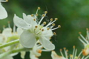 Common whitebeam (Sorbus aria) flower, Somerset, UK, May  -  Nigel Bean