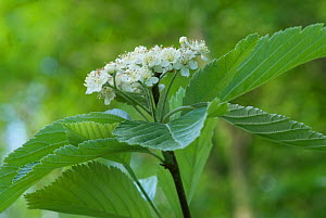 Wilmott's Whitebeam (Sorbus wilmottiana) in flower, Avon Gorge, Bristol, UK, May  -  Nigel Bean