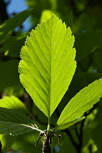Wilmott's Whitebeam (Sorbus wilmottiana) leaf, backlit, Avon Gorge, Bristol, UK, May  -  Nigel Bean