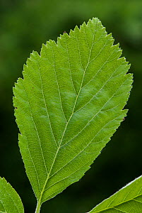 Wilmott's Whitebeam (Sorbus wilmottiana) leaf,  Avon Gorge, Bristol, UK, May  -  Nigel Bean