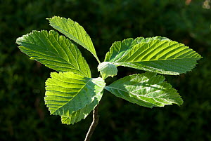 Wilmott's Whitebeam (Sorbus wilmottiana) leaves, Avon Gorge, Bristol, UK, May  -  Nigel Bean