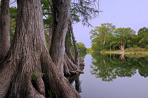 Bald Cypress (Taxodium distichum) on the banks of the Blanco River. Wimberley, Hays County, Central Texas, USA, June.  -  Rolf Nussbaumer
