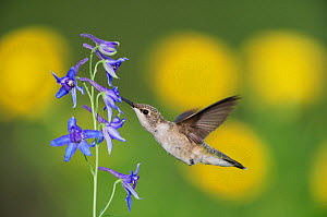 Black-chinned Hummingbird (Archilochus alexandri) female in flight feeding on Larkspur (Delphinium sp.). Gila National Forest, New Mexico, USA, August.  -  Rolf Nussbaumer