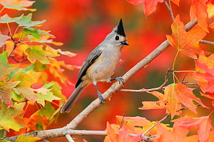 Black-crested Titmouse (Baeolophus bicolor atricristatus) adult on autumn leaves of Bigtooth Maple (Acer grandidentatum). Hill Country, Texas, USA, November. - Rolf Nussbaumer