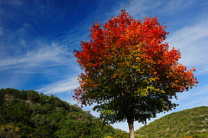 Bigtooth Maple (Acer saccharum grandidentatum) shifting into autumn colours. Lost Maples State Park, Hill Country, Central Texas, USA, November.  -  Rolf Nussbaumer