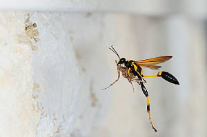 Black and yellow Mud Dauber (Sceliphron caementarium) female in flight carrying prey to her nest. Comal County, Hill Country, Central Texas, USA, July.  -  Rolf Nussbaumer