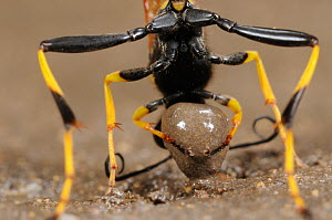 Black and yellow Mud Dauber (Sceliphron caementarium) female collecting mud for her nest. Comal County, Hill Country, Central Texas, USA, July.  -  Rolf Nussbaumer