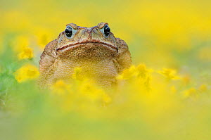 RF- Cane Toad / Marine Toad / Giant Toad (Bufo marinus) adult in Dogweed (Dyssodia pentachaeta). Laredo, Webb County, South Texas, USA. April. (This image may be licensed either as rights managed or r...  -  Rolf Nussbaumer