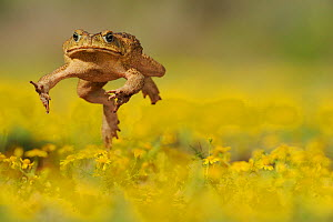 Cane Toad / Marine Toad / Giant Toad (Bufo marinus) adult jumping in Dogweed (Dyssodia pentachaeta) field. Laredo, Webb County, South Texas, USA, April. - Rolf Nussbaumer