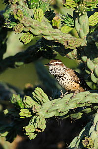 Cactus Wren (Campylorhynchus brunneicapillus), adult singing on Cane Cholla (Opuntia imbricata). Laredo, Webb County, South Texas, USA, April.  -  Rolf Nussbaumer