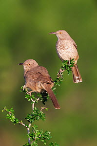 Two Curve-billed Thrashers (Toxostoma curvirostre) perched. Laredo, Webb County, South Texas, USA, April.  -  Rolf Nussbaumer