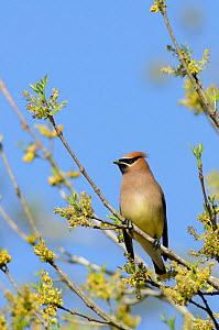 Cedar Waxwing (Bombycilla cedrorum) adult perched among Pecan tree flowers (Carya illinoinensis). New Braunfels, Hill Country, Central Texas, USA, March.  -  Rolf Nussbaumer