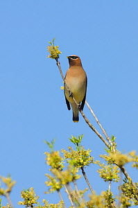 Cedar Waxwing (Bombycilla cedrorum) adult perched on Pecan tree flowers (Carya illinoinensis). New Braunfels, Hill Country, Central Texas, USA, March.  -  Rolf Nussbaumer