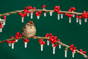 Chipping Sparrow (Spizella passerina) adult on ice covered Possum Haw Holly (Ilex decidua) berries. New Braunfels, San Antonio, Hill Country, Central Texas, USA, January.  -  Rolf Nussbaumer