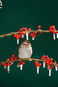 Chipping Sparrow (Spizella passerina), adult on ice covered Possum Haw Holly (Ilex decidua) berries. New Braunfels, San Antonio, Hill Country, Central Texas, USA, January.  -  Rolf Nussbaumer