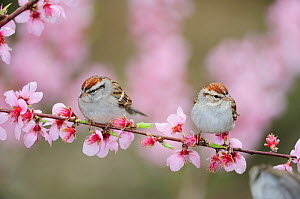 Chipping Sparrow (Spizella passerina) adults on blooming peach tree (Prunus persica). New Braunfels, San Antonio, Hill Country, Central Texas, USA, February.  -  Rolf Nussbaumer