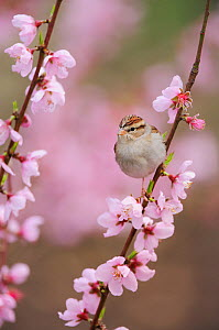 Chipping Sparrow (Spizella passerina), adult on blooming peach tree (Prunus persica). New Braunfels, San Antonio, Hill Country, Central Texas, USA, February. - Rolf Nussbaumer