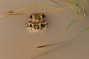 Couch's Spadefoot (Scaphiopus couchii) pair mating. Laredo, Webb County, South Texas, USA, April.  -  Rolf Nussbaumer