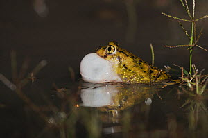 Couch's Spadefoot (Scaphiopus couchii) adult at night calling with vocal sac inflated. Laredo, Webb County, South Texas, USA, April.  -  Rolf Nussbaumer