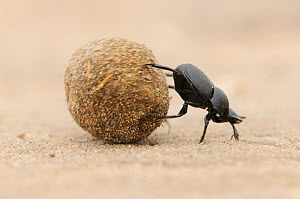 Dung Beetle (Scarabaeinae) adult rolling dung ball. Laredo, Webb County, South Texas, USA Not available for ringtone/wallpaper use.  -  Rolf Nussbaumer