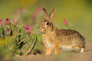 Eastern Cottontail (Sylvilagus floridanus) adult. Laredo, Webb County, South Texas, USA, April.  -  Rolf Nussbaumer