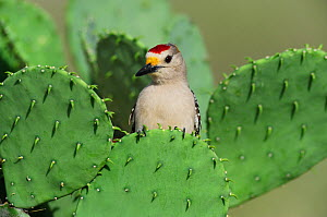 Golden-fronted Woodpecker (Melanerpes aurifrons), male perched on Texas Prickly Pear Cactus (Opuntia engelmanni). Laredo, Webb County, South Texas, USA, April.  -  Rolf Nussbaumer