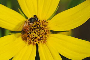 RF- Honey Bee (Apis mellifera), adult on Maximilians Sunflower (Helianthus maximilianii). Comal County, Hill Country, Central Texas, USA. October. (This image may be licensed either as rights managed... - Rolf Nussbaumer