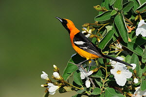 Hooded Oriole (Icterus cucullatus), male singing on Mexican Olive tree (Cordia boissieri). Laredo, Webb County, South Texas, USA, April.  -  Rolf Nussbaumer