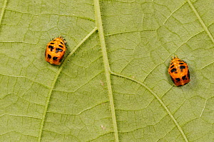 Multicolored Asian lady beetle (Harmonia axyridis), pupa under leaf. New Braunfels, Hill Country, Central Texas, USA, October.  -  Rolf Nussbaumer