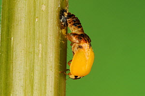 Multicolored Asian lady beetle (Harmonia axyridis), beetle emerging from pupa. New Braunfels, Hill Country, Central Texas, USA, October. Sequence 2 of 5.  -  Rolf Nussbaumer