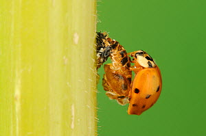 Multicolored Asian lady beetle (Harmonia axyridis), beetle newly emerged from pupa after the shell has hardened. New Braunfels, Hill Country, Central Texas, USA, October. Sequence 5 of 5.  -  Rolf Nussbaumer