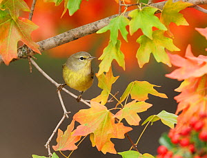 Orange-crowned Warbler (Vermivora celata), adult on autumn leaves of Bigtooth Maple (Acer grandidentatum), Hill Country, Central Texas, USA, November.  -  Rolf Nussbaumer