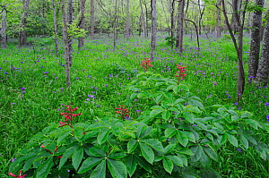Red Buckeye (Aesculus pavia) and Prairie Spiderwort (Tradescantia occidentalis), blooming on forest floor, Palmetto State Park, Gonzales County, Texas, USA, March. - Rolf Nussbaumer