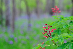 Red Buckeye (Aesculus pavia) flowers blooming. Palmetto State Park, Gonzales County, Texas, USA, March. - Rolf Nussbaumer
