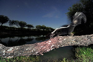Striped Skunk (Mephitis mephitis), adult at night walking on log. Laredo, Webb County, South Texas, USA, April. - Rolf Nussbaumer