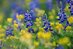 Texas Bluebonnet (Lupinus texensis), blooming, Gonzales County, Texas, USA, March.  -  Rolf Nussbaumer