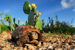 Texas Tortoise (Gopherus berlandieri), adult walking. Laredo, Webb County, South Texas, USA, April. - Rolf Nussbaumer