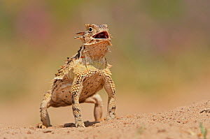 Texas Horned Lizard (Phrynosoma cornutum), adult standing up. Laredo, Webb County, South Texas, USA, April.  -  Rolf Nussbaumer