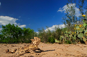 Texas Horned Lizard (Phrynosoma cornutum), adult in desert. Laredo, Webb County, South Texas, USA, April. - Rolf Nussbaumer