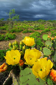 Texas Prickly Pear Cactus (Opuntia engelmanni), plant blooming. Laredo, Webb County, South Texas, USA, April. - Rolf Nussbaumer