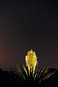 RF- Trecul Yucca, Spanish Dagger (Yucca treculeana), blossom with night stars. Laredo, Webb County, South Texas, USA. April. (This image may be licensed either as rights managed or royalty free.)  -  Rolf Nussbaumer