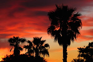 Texas Sabal Palm (Sabal texana) trees at sunset. Laredo, Webb County, South Texas, USA, April. - Rolf Nussbaumer