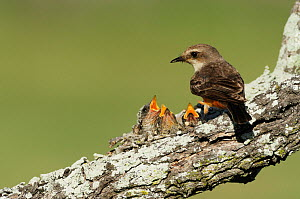 Vermillion Flycatcher (Pyrocephalus rubinus), female feeding young in nest. Laredo, Webb County, South Texas, USA, April. - Rolf Nussbaumer