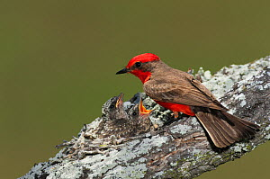 Vermillion Flycatcher (Pyrocephalus rubinus) male feeding young in nest. Laredo, Webb County, South Texas, USA, April. - Rolf Nussbaumer
