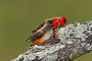 Vermillion Flycatcher (Pyrocephalus rubinus) pair feeding young in nest. Laredo, Webb County, South Texas, USA, April. - Rolf Nussbaumer