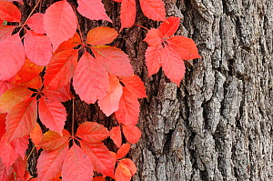 Virginia creeper (Parthenocissus quinquefolia), climbing on Live Oak (Quercus virginiana) with fall colors, Kerrville, Hill Country, Central Texas, USA, November.  -  Rolf Nussbaumer