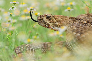Western Diamondback Rattlesnake (Crotalus atrox), adult in striking pose in wildflower field. Laredo, Webb County, South Texas, USA, April. - Rolf Nussbaumer