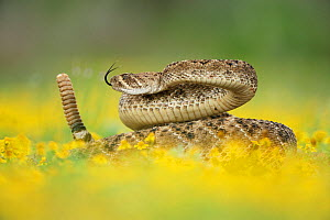RF- Western Diamondback Rattlesnake (Crotalus atrox), adult in striking pose with rattle raised, in wildflowers. Laredo, Webb County, South Texas, USA. April. (This image may be licensed either as rig... - Rolf Nussbaumer
