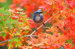 Western Scrub-Jay (Aphelocoma californica), adult on autumn leaves of Bigtooth Maple (Acer grandidentatum), Hill Country, Central Texas, USA, November.  -  Rolf Nussbaumer